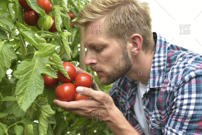Gardener smelling tomatoes in greenhouse