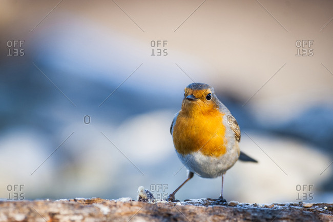 Portrait of robin