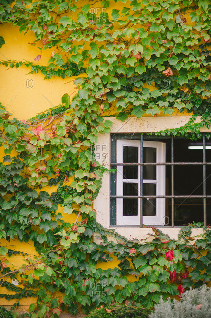 Vines cover yellow building