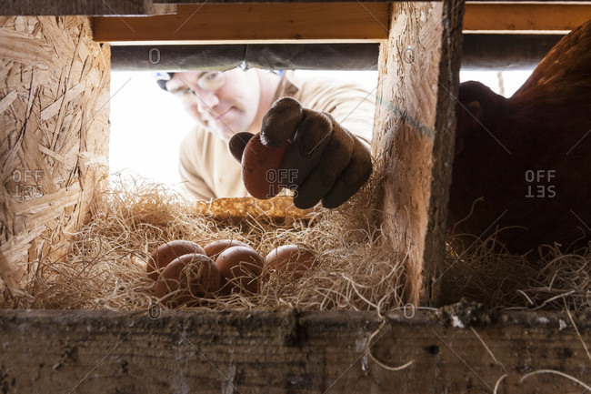 February 8, 2011: A farmer reaches in to collect eggs from the nesting boxes in a mobile chicken coop.