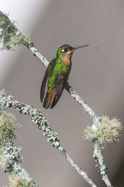 Atlantic Rainforest hummingbird Brazilian Ruby in Itatiaia National Park, Rio de Janeiro, Brazil