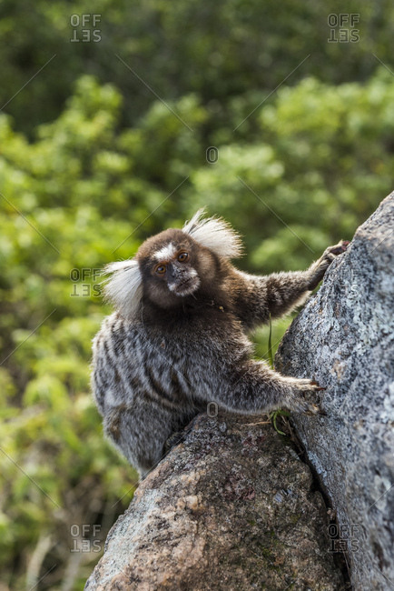 Common-marmoset (Callithrix jacchus) hanging on a rock in the Sugar Loaf Mountain in Rio de Janeiro, Brazil