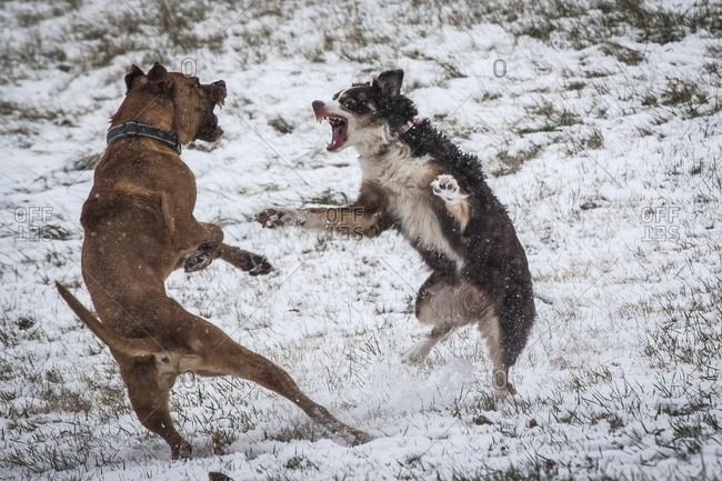 Dogs fighting while playing outdoors in winter, Johnstown, Ohio, USA