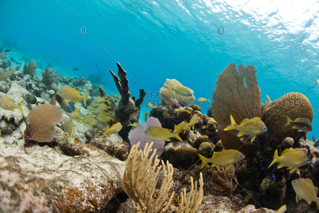A school of yellow French Grunts swim by coral in Glover's Reef, Belize.