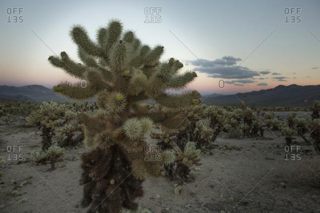 Cholla cactus at sunset in Joshua Tree National Park, California, USA