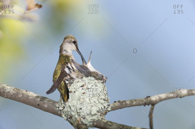 Ruby-throated hummingbird (Archilochus colubris) feeding chicks in nest, Rehoboth, Massachusetts, USA