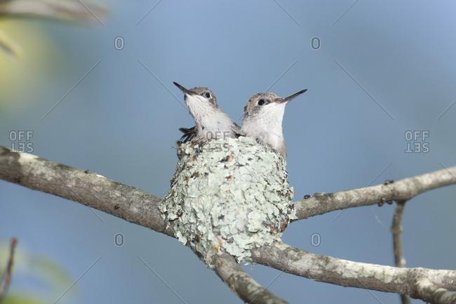 Ruby-throated hummingbird (Archilochus colubris) chicks in nest, Rehoboth, Massachusetts, USA