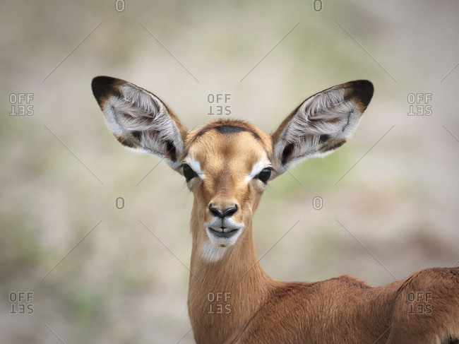 A baby impala with large ears looks alert and curious.