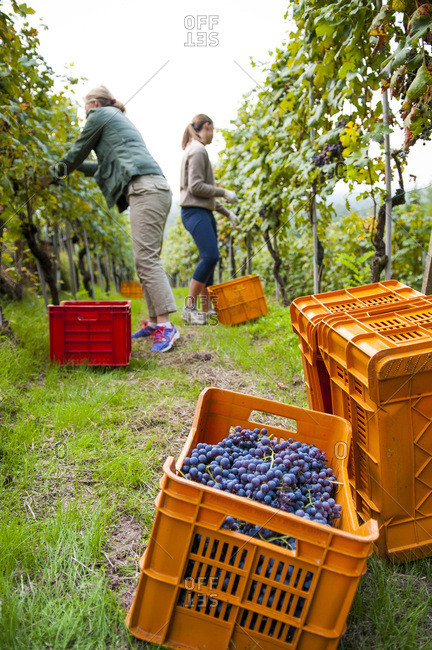 Woman and Teen Girl Picking Nebbiolo Grapes in Vineyard