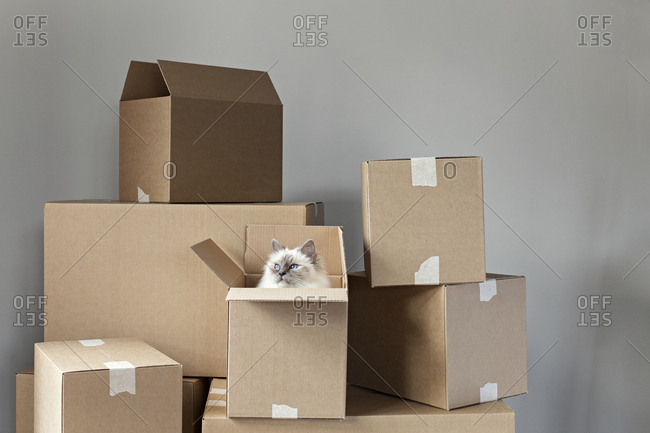 Birman cat inside a box in a pile of boxes