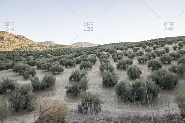 Olive trees in Andalusia landscape