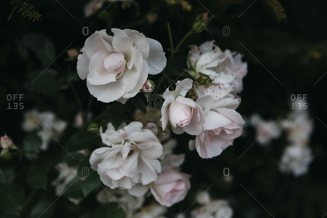 Roses with pink spots