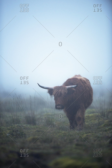 Highland cattle in misty meadow