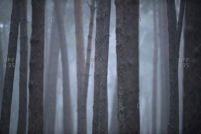 Pine tree trunks in mist