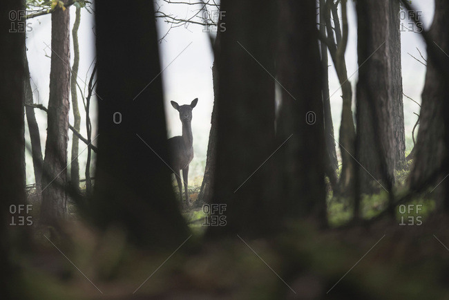 Silhouette of fallow deer in misty forest
