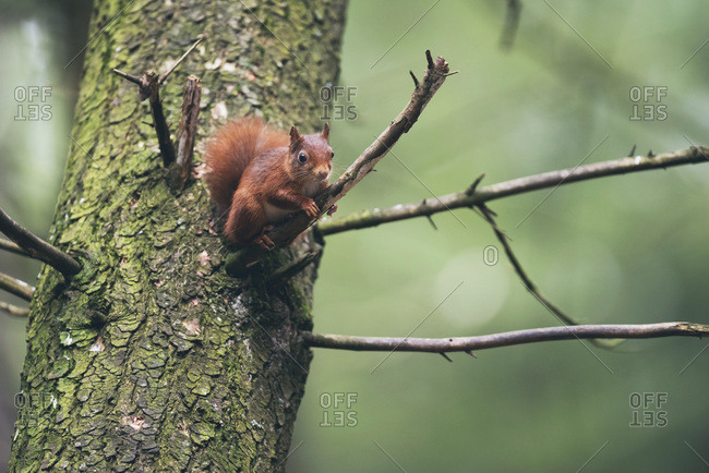 Red squirrel on twig of tree