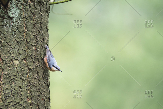 Eurasian nuthatch on tree trunk