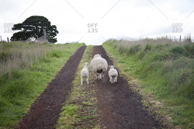 Sheep walking on path on a sheep farm in the Penshurst Village, Australia