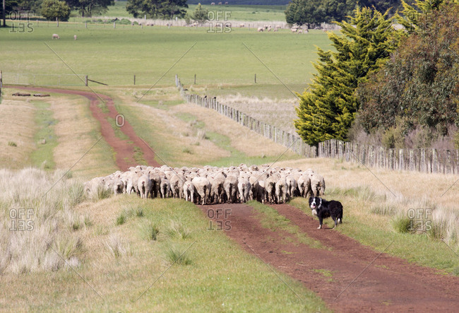 Border collie and mob of sheep in Penshurst, Australia
