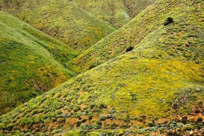 Green hills with yellow californian poppies (Eschscholzia californica), North Elsinore, California, USA