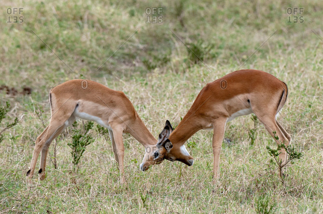 Impalas (Aepyceros melampus), sparring, Maasai Mara National Reserve, Rift Valley, Kenya, Africa