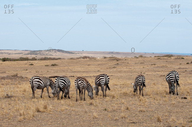 Herd of zebra (Equus quagga), grazing, Maasai Mara National Reserve, Rift Valley, Kenya, Africa