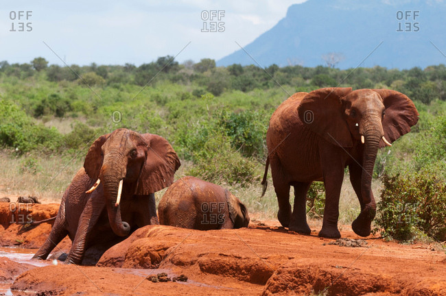 Elephants (Loxodonta africana) helping calf trapped in mud, Tsavo East National Park, Kenya