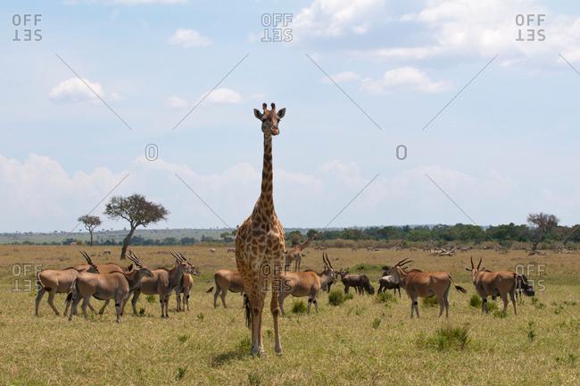 Masai Giraffe (Giraffa camelopardalis) and gazelles, Masai Mara, Kenya