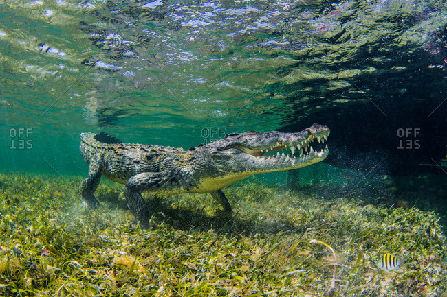 Underwater view of american saltwater crocodile on seabed, Xcalak, Quintana Roo, Mexico