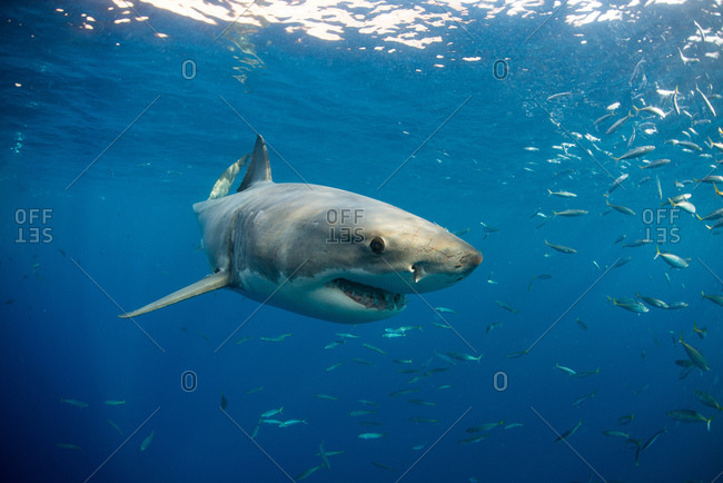 Great white shark swimming (carcharodon carcharias) close to surface, Guadalupe, Mexico