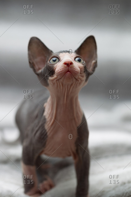 Animal portrait of sphynx cat looking up
