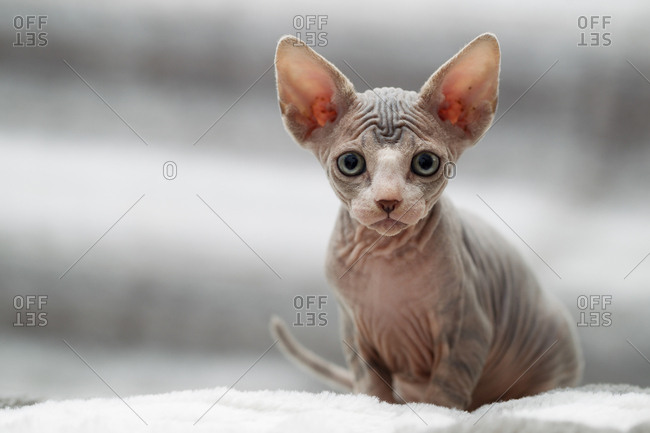 Animal portrait of sphynx cat looking at camera