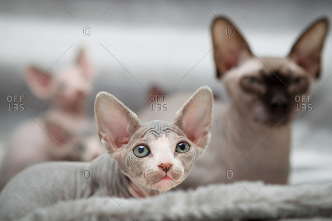Sphynx kitten with mother - Offset