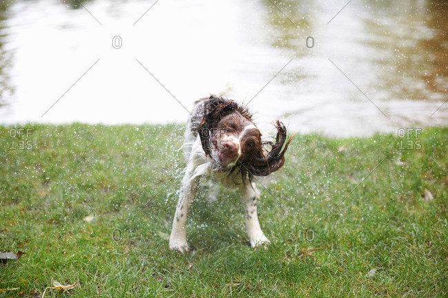 Dog shaking water from wet hair