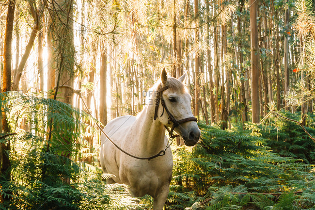 Tethered white horse in woods in sunset lights