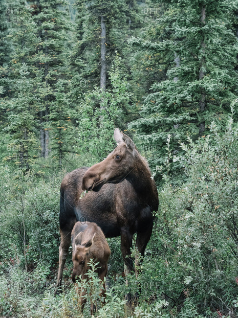 Beautiful brown female moose standing in green grass with elk calf in coniferous woods