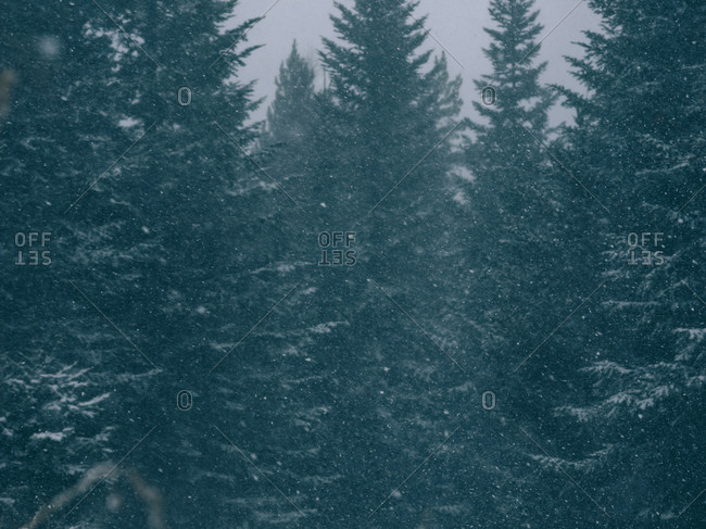 Background of evergreen huge trees in snow falling
