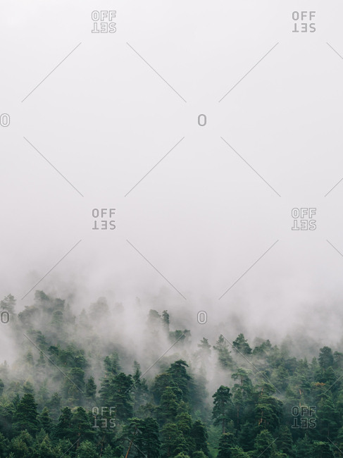 Mysterious view of green coniferous trees in thick fog