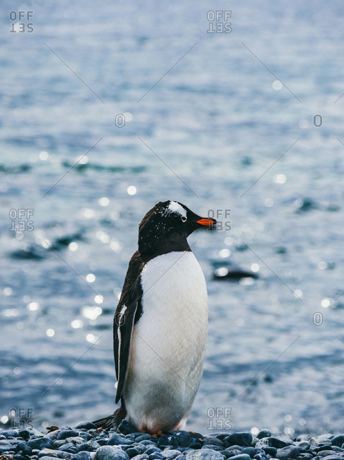 Adorable black and white penguin standing on pebble with view of sea on background