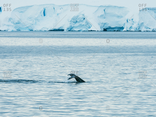 Whale swimming icy ocean