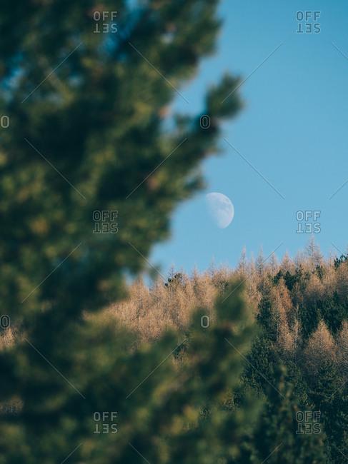Moon behind evergreen trees
