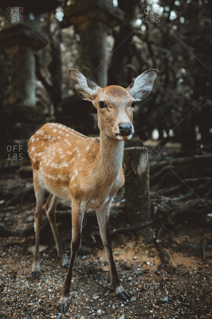 Beautiful and calm fallow deer standing on lawn in mystical woods looking at camera
