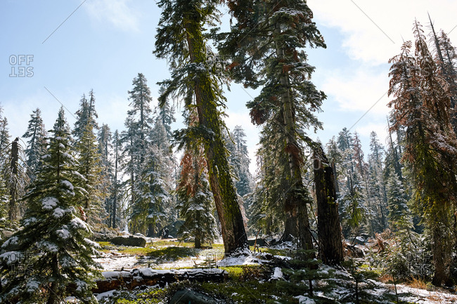Snowy forest in Yosemite National Park