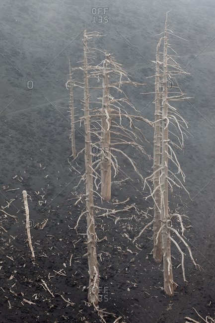 Some pine trees dead during the 2002 eruption of Mount Etna., Zafferana, Sicily, Italy