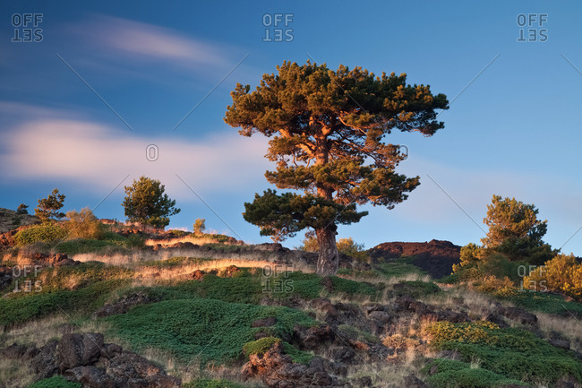 A black pine trees at sunset on the slopes of Monte Nero degli Zappini, Nicolosi, Sicily, Italy