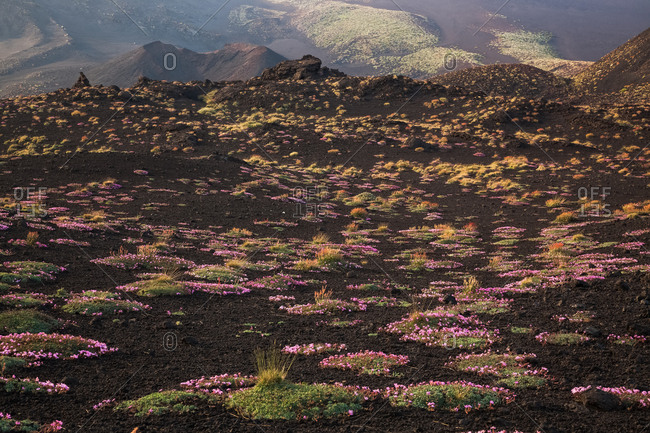 Flowering of Saponaria Aetnensis, in the background the crater originated during the 2001 eruption, Nicolosi, Sicily, Italy
