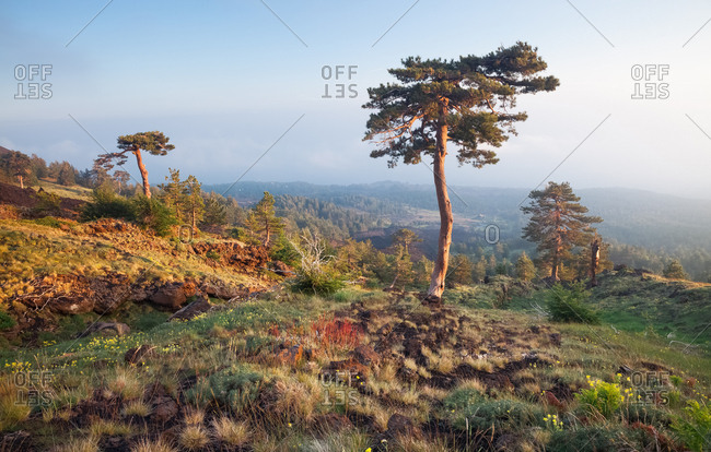 Etna beyond 2000m altitude, one of the pines at high altitude in the west side, Nicolosi, Sicily, Italy
