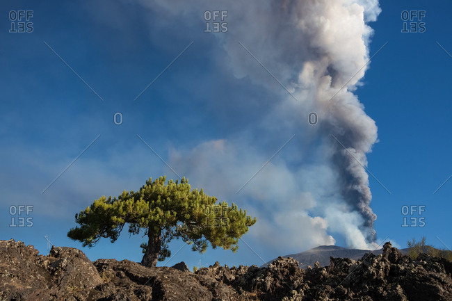 14th paroxysm of 2013 during the dual activity of the craters South East and North East, in  foreground a well-known dwarf pine, Nicolosi, Sicily, Italy