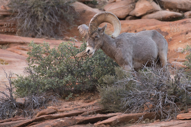 Male big horn sheep in Zion