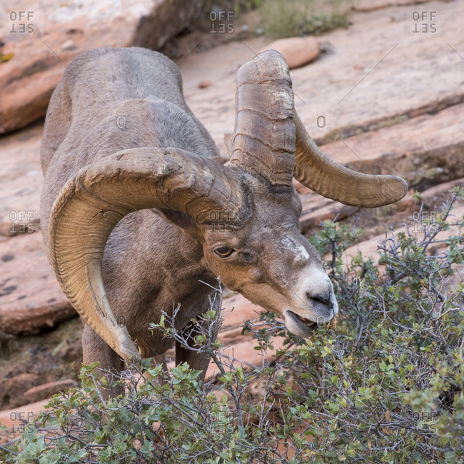 Big horn sheep foraging